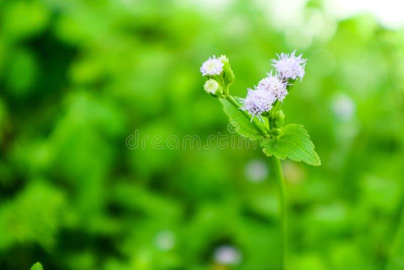 Poca flor de la mala hierba en la hierba que resuena después de caída de la lluvia en jardín imagenes de archivo