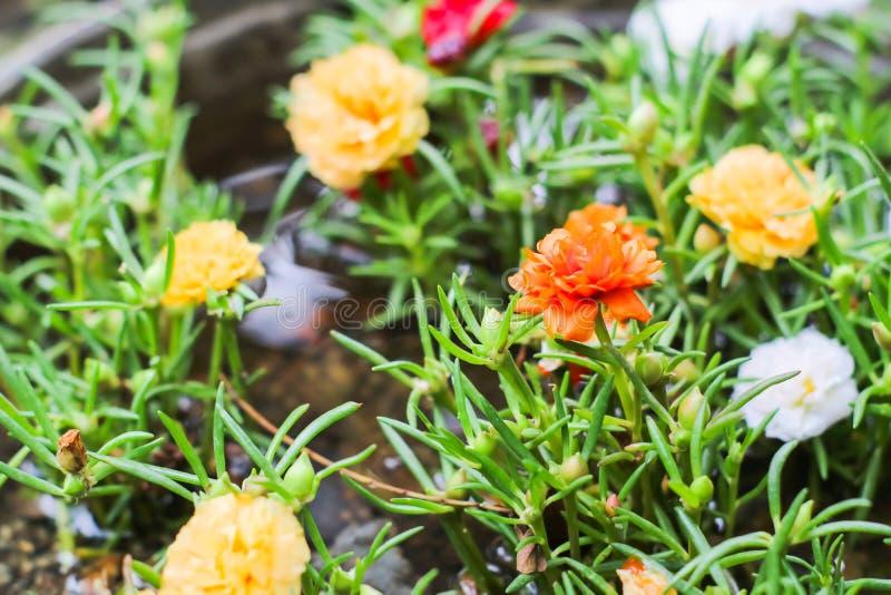 Poca floración colorida de Hogweed en maceta en el jardín imagen de archivo