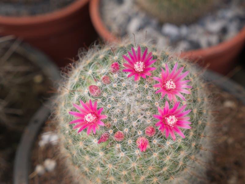 Poca floración de las flores del cactus del rosa imagen de archivo