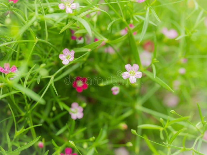 Poca floración púrpura blanca de las flores de Bypsophila imagen de archivo libre de regalías