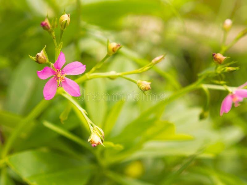 Poca floración rosada de la flor imagen de archivo
