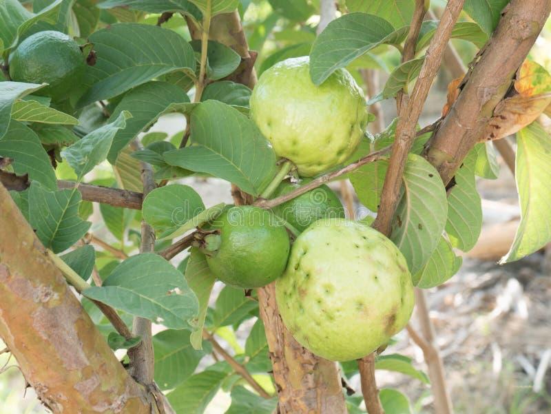 Poca fruta de guayaba en árbol foto de archivo libre de regalías