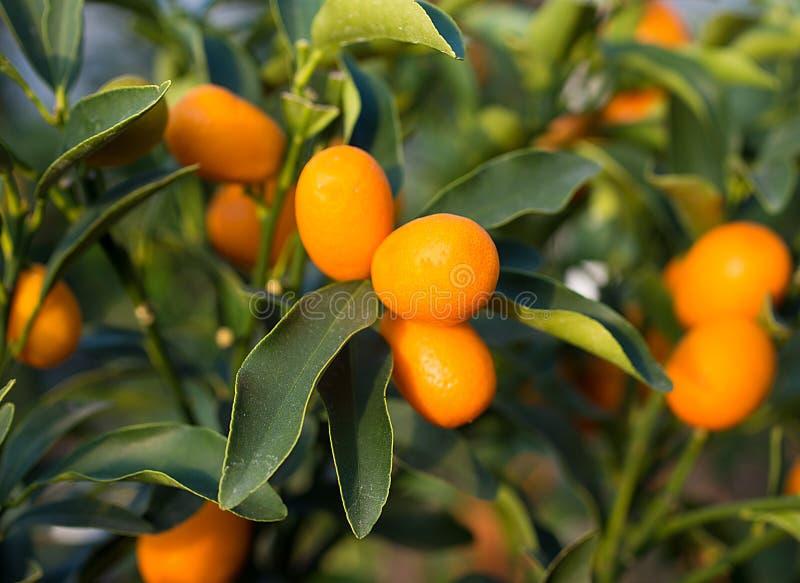 Poca frutta del kumquat sull'albero nel frutteto immagini stock libere da diritti