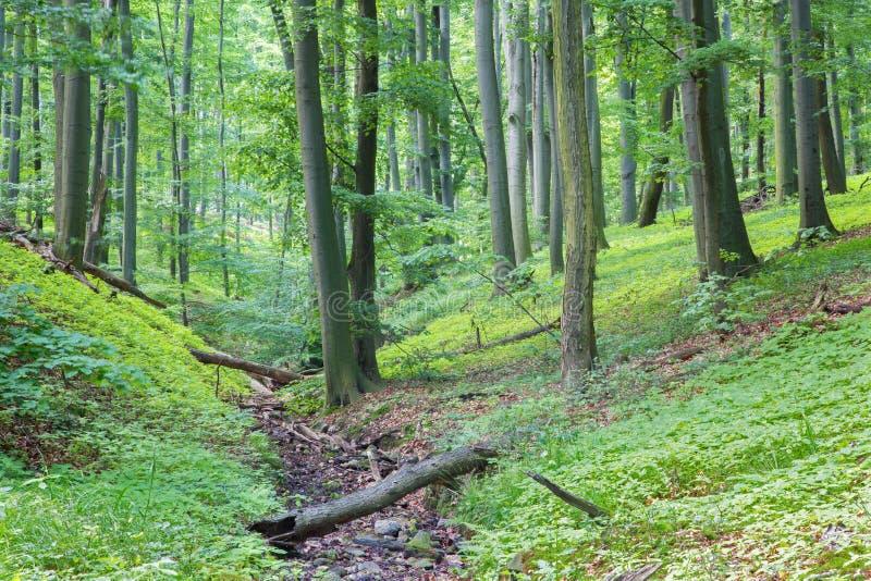 Poca insenatura nella foresta del faggio in poche montagne di Carpathinan fotografia stock