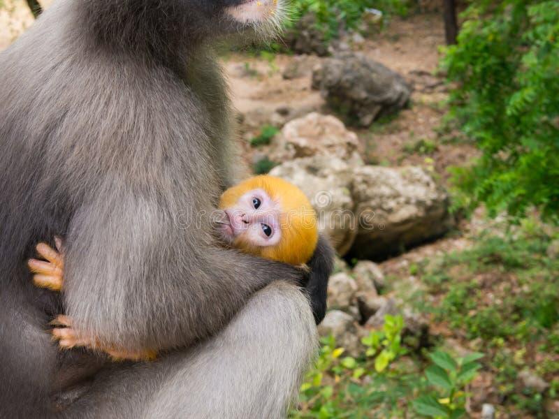 Poca leche de consumo del mono de la hoja del pecho de la madre fotos de archivo