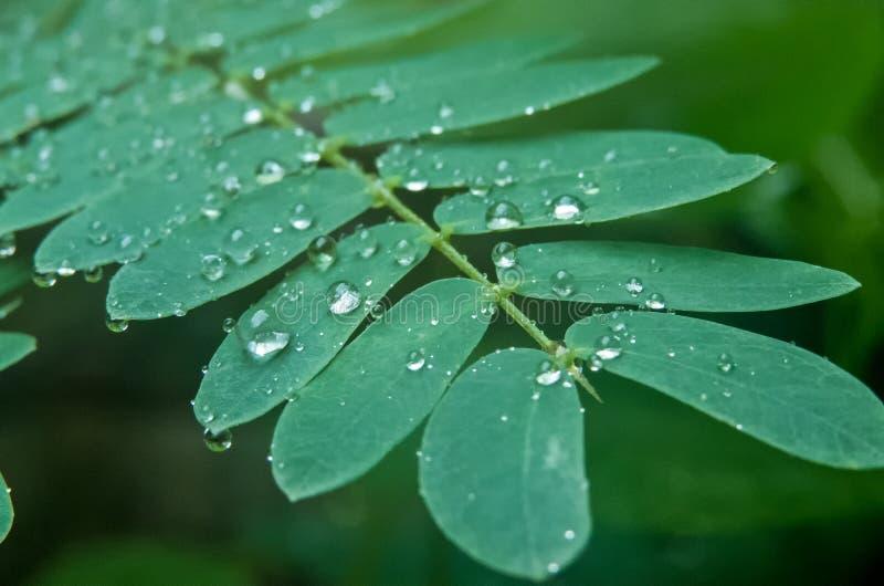 Poca lluvia cae en tacto-mí-no o Shameplant-Indore, la India fotografía de archivo libre de regalías