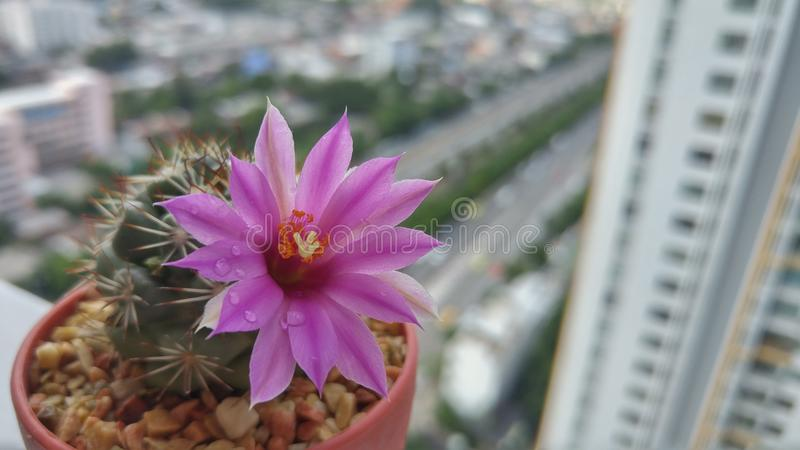 Poca naturaleza en el concepto grande de la ciudad, pequeño cactus con la flor de la floración en la maceta en la esquina con el  imagenes de archivo
