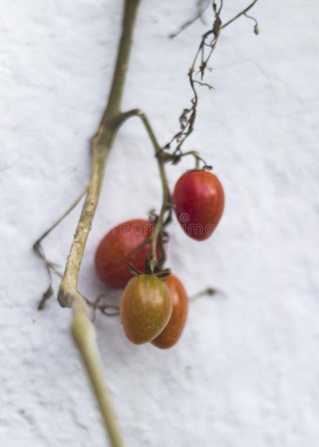 Poca planta del rojo del tomate imágenes de archivo libres de regalías