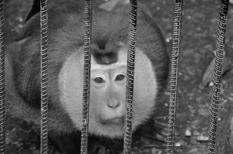 Poca scimmia è bloccata in uno zoo in bianco e nero immagine stock libera da diritti