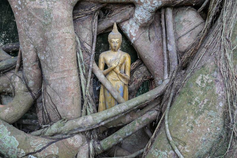 Poca statua dorata di Buddha dentro le radici dell'albero di banyan in tempio buddista immagine stock libera da diritti