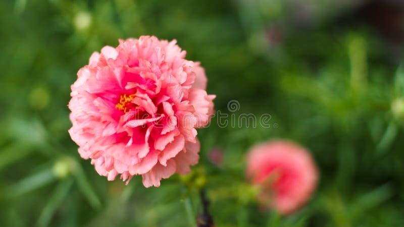 Pocas flores de Portuaca imágenes de archivo libres de regalías