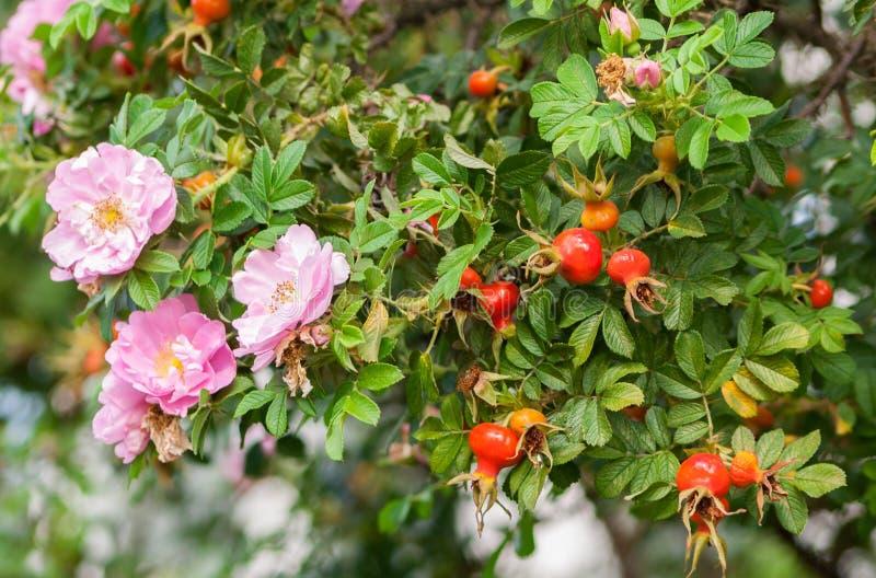 pocas rosas rosadas y muchos escaramujos en una rama grande fotografía de archivo libre de regalías