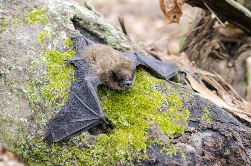 Poche ali del pipistrello di Brown, Georgia U.S.A. immagini stock libere da diritti