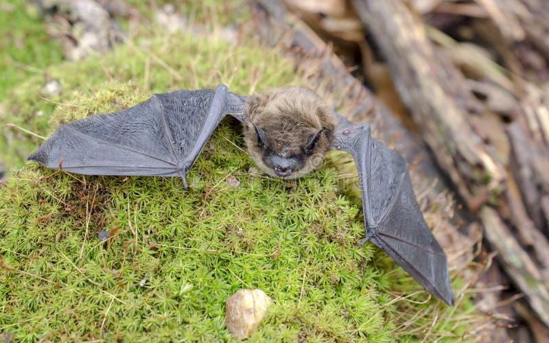 Poche ali del pipistrello di Brown, Georgia U.S.A. fotografie stock libere da diritti