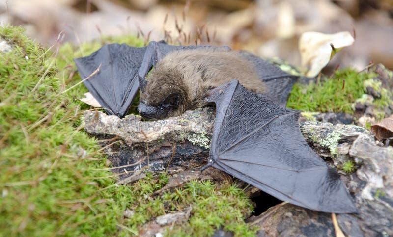 Poche ali del pipistrello di Brown, Georgia U.S.A. immagini stock