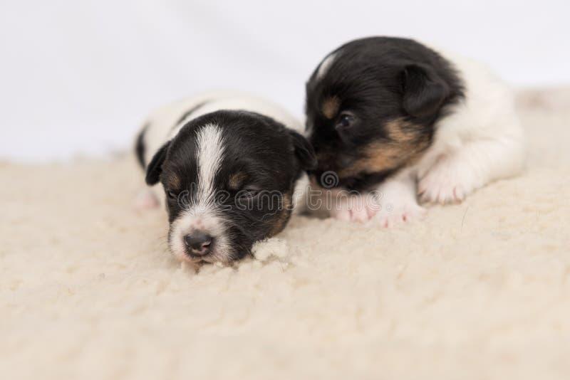 Pochi cuccioli di cane di Jack Russell una vecchia bugia di 14 giorni parallelamente su una coperta davanti a fondo bianco fotografia stock libera da diritti