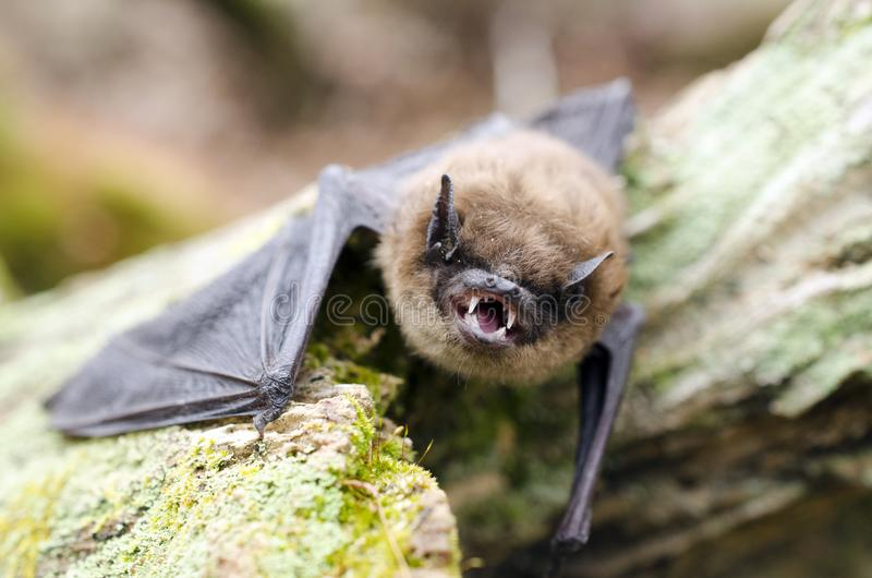 Pochi denti del pipistrello di Brown e zanne, Georgia U.S.A. fotografie stock libere da diritti