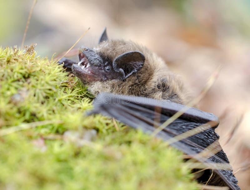 Pochi denti del pipistrello di Brown e zanne, Georgia U.S.A. fotografia stock