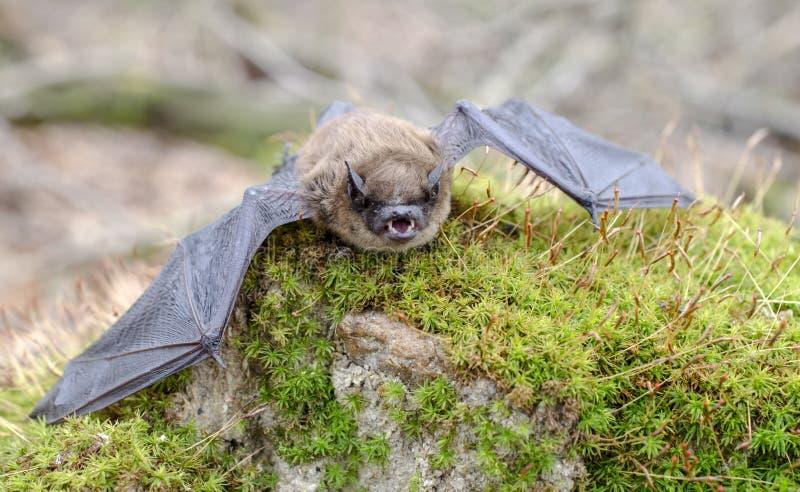 Pochi denti del pipistrello di Brown e zanne, Georgia U.S.A. fotografie stock