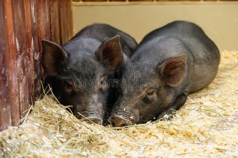 Pochi due maiali neri si trovano vicino sull'azienda agricola Amore del maiale Grugnito dei porcellini nello zoo del contatto un  immagini stock