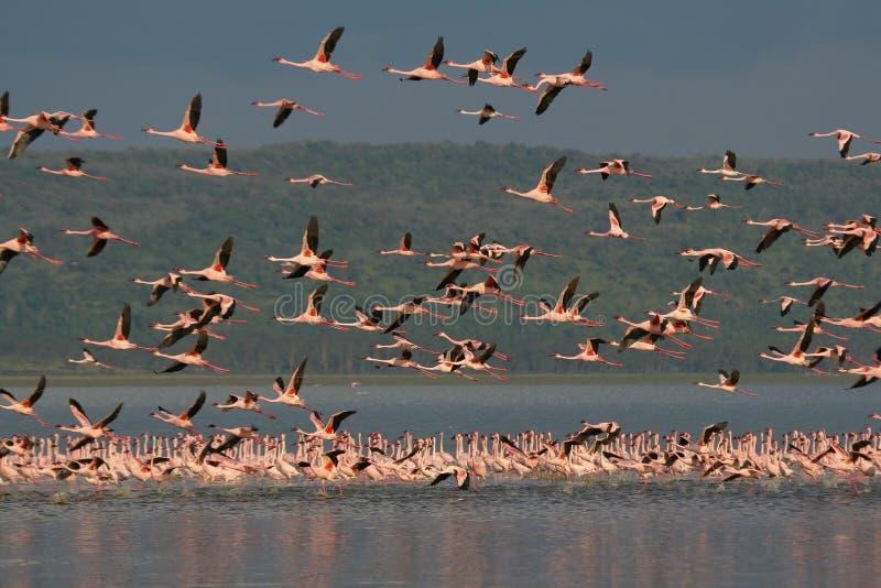 Download Pochi Fenicotteri Durante Il Volo Immagine Stock - Immagine di lago, spaccatura: 3137721