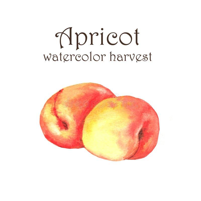 Pociągany ręcznie akwareli ilustracja świeże dojrzałe owoc - pomarańczowe morele ilustracji