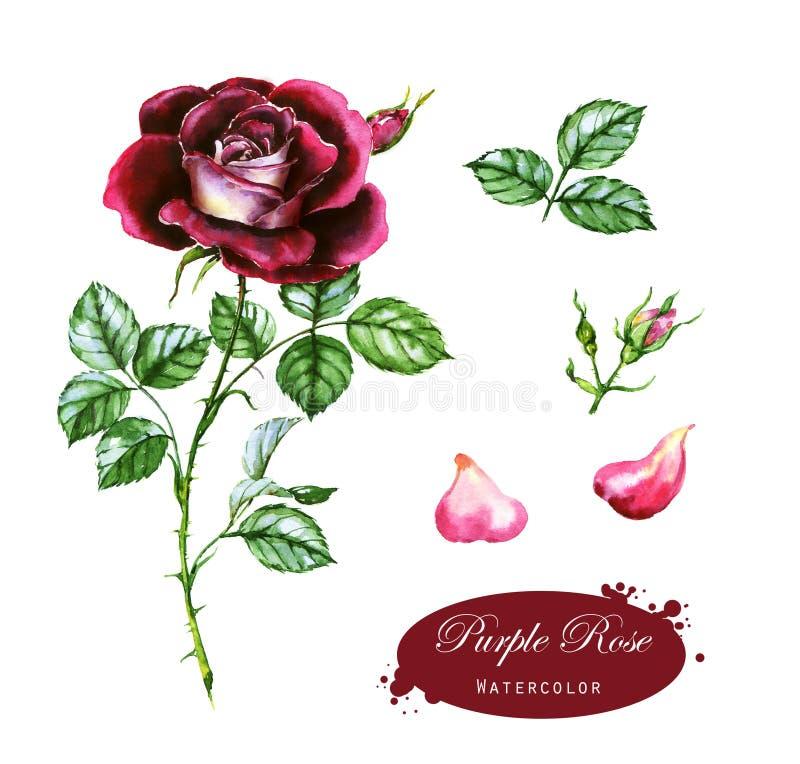 Pociągany ręcznie akwareli ilustracja purpury róża Botaniczny rysunek odizolowywający na białym tle royalty ilustracja