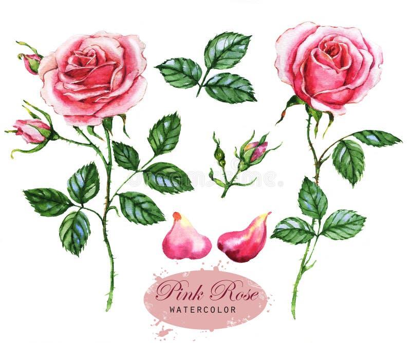 Pociągany ręcznie akwareli ilustracja różowe róże Botaniczny rysunek odizolowywający na białym tle royalty ilustracja