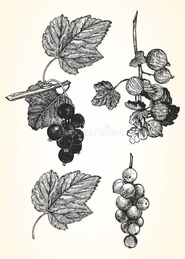 Pociągany ręcznie ilustracja rodzynek i agrest ilustracji