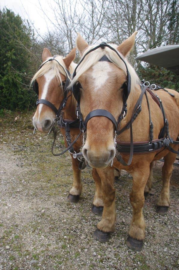 Pociągniecie konie Comtois obraz royalty free
