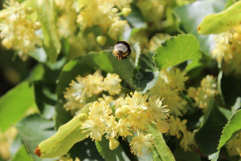 Poco abejorro en las flores del árbol de tilo, luz del sol brillante fotos de archivo