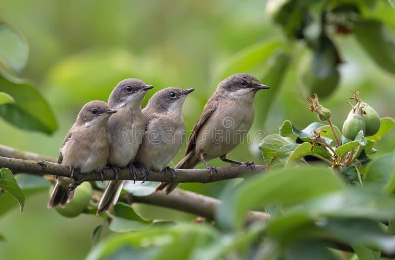 Poco adulto del whitethroat y polluelos jovenes junto foto de archivo libre de regalías