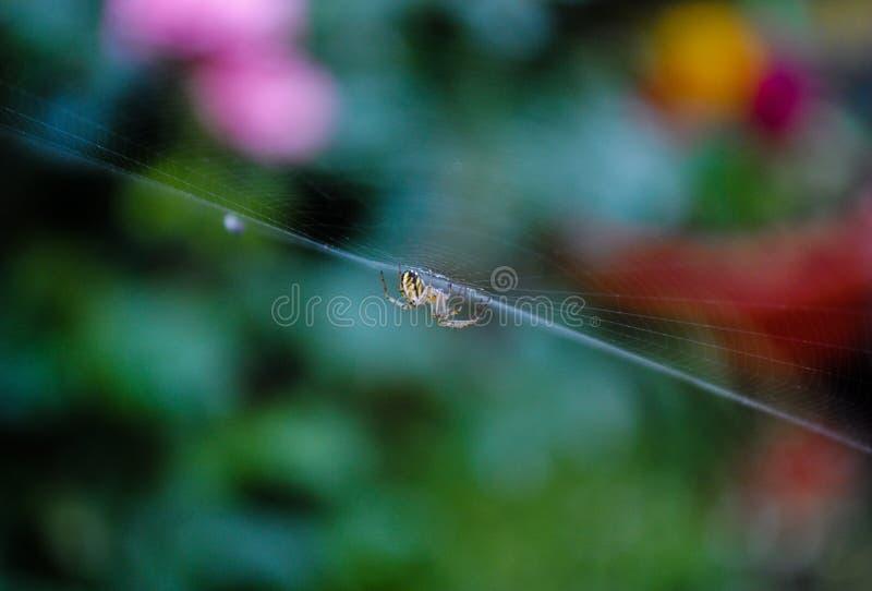 Poco araña amarilla en el spiderweb fotos de archivo