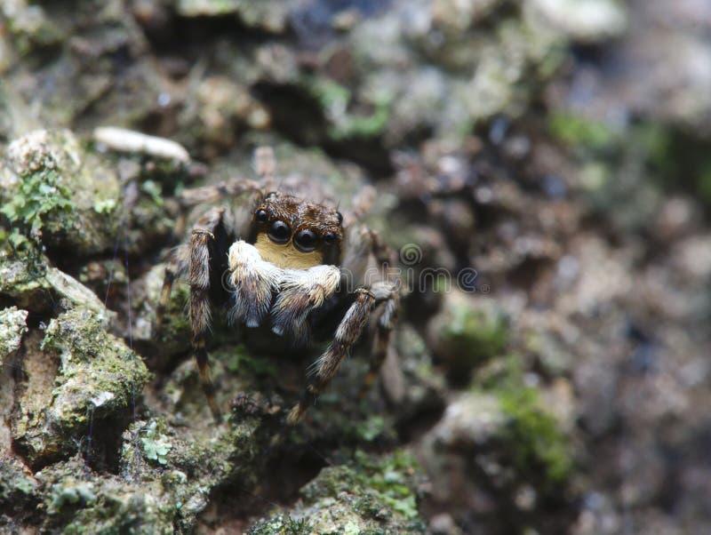 Poco araña de salto en la madera cubierta de musgo fotos de archivo