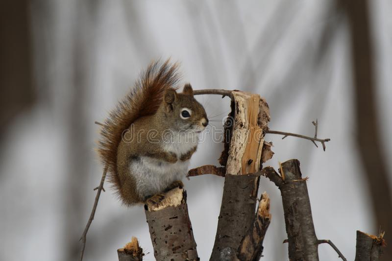 Poco ardilla marrón en una rama de árbol en bosque salvaje en invierno imagen de archivo