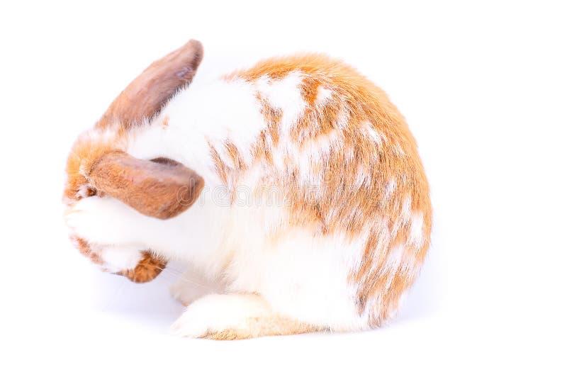 Poco blanco y piernas marrones del frente del uso del conejo de conejito para limpiar su cabeza en el fondo blanco fotos de archivo