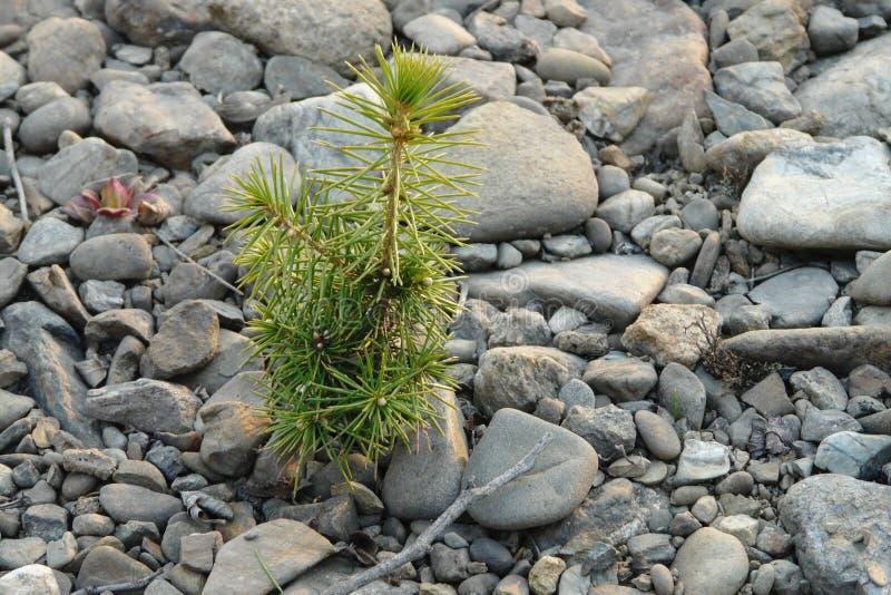 Poco brote del pino crece en las piedras grises fotos de archivo