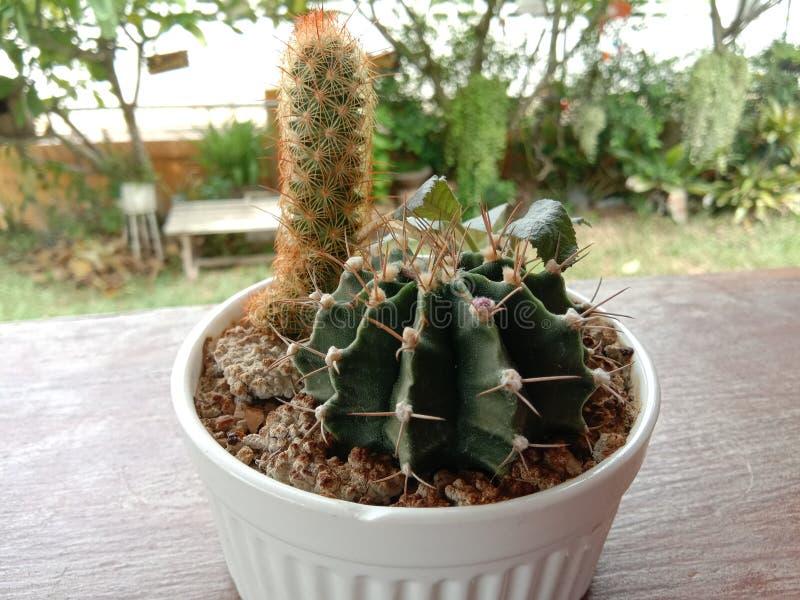 Poco cactus immagine stock libera da diritti