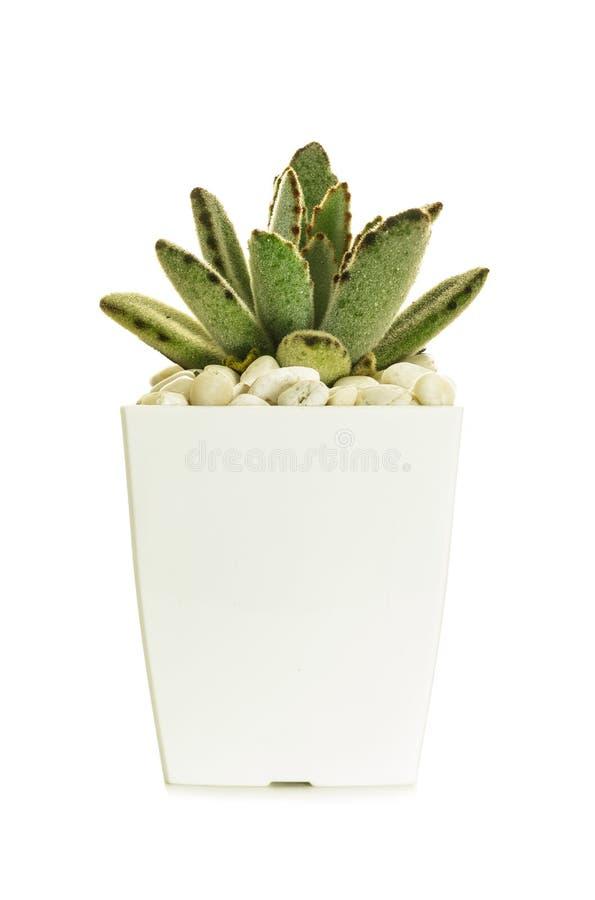 Poco cactus immagine stock