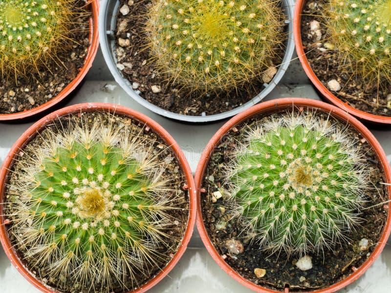 Poco cactus en maceta fotos de archivo