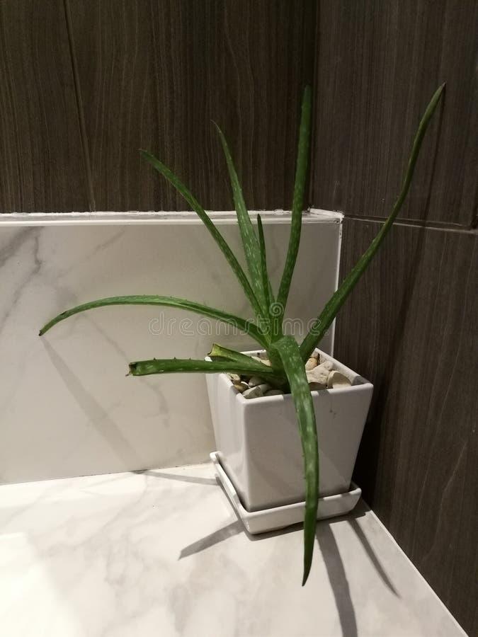 Poco cactus il vaso bianco sul contatore di marmo bianco a casa con il fondo della sfuocatura fotografia stock libera da diritti