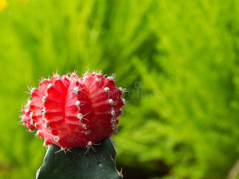 Poco cactus rojo detrás de la planta verde imagenes de archivo