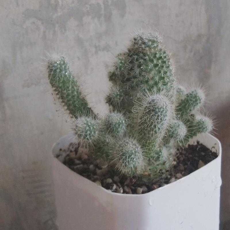 Poco cactus sta crescendo fotografia stock