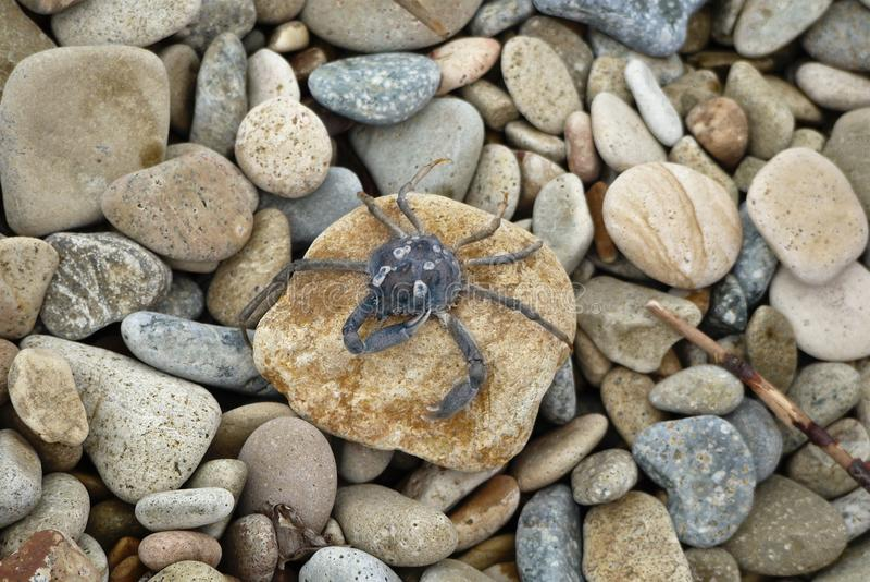 Poco cangrejo azul se sienta en una piedra en los guijarros de un mar del fondo imagen de archivo libre de regalías