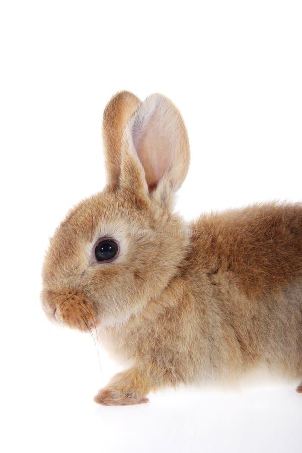 Poco conejo de conejito en el fondo blanco fotografía de archivo libre de regalías