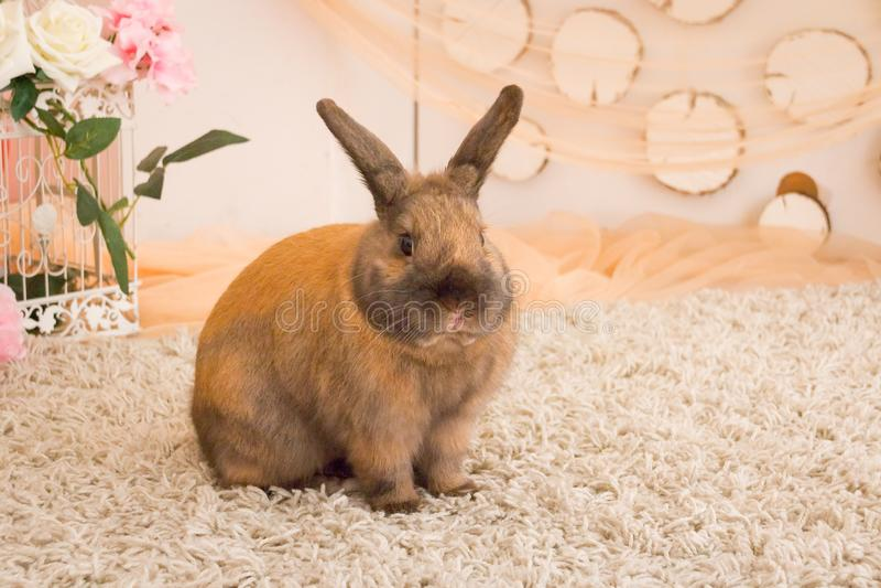 Poco conejo mullido rojo, aislado, conejito de pascua Animal doméstico lindo Conejito joven adorable en la acción preciosa Pequeñ imágenes de archivo libres de regalías