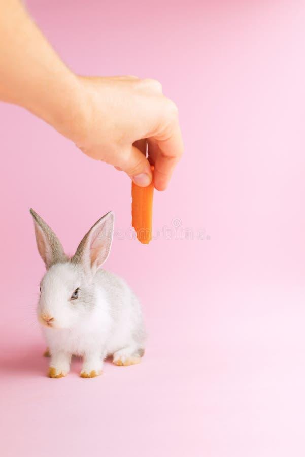 Poco coniglio addomesticato che mangia un fondo di rosa della carota immagini stock libere da diritti