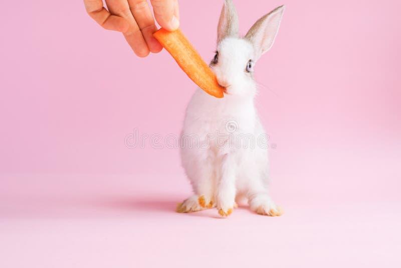 Poco coniglio addomesticato che mangia un fondo di rosa della carota fotografia stock