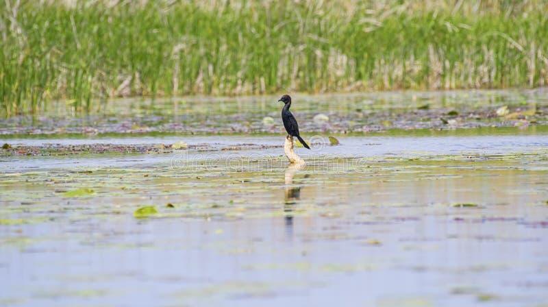 Poco cormorán negro en el delta de Danubio en un tocón imagenes de archivo