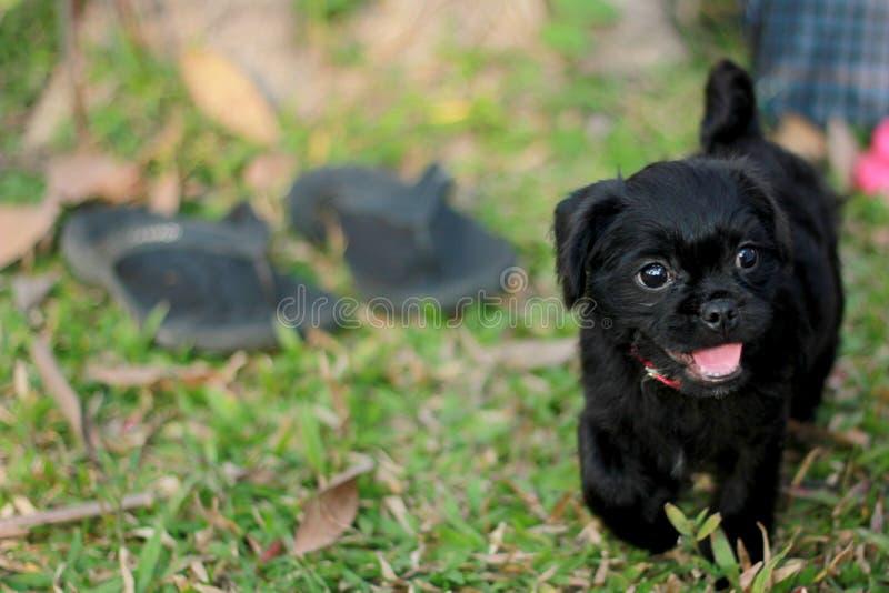 Poco cucciolo di cane che cammina sull'erba immagine stock